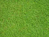 Stadium Turf Grass Seeds Greendale Turf
